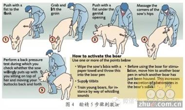 丹麦养猪饲料的选择与饲养管理要点