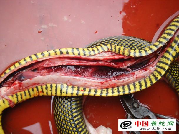 蛇类疾病寄生虫病发生的原因与防治原则