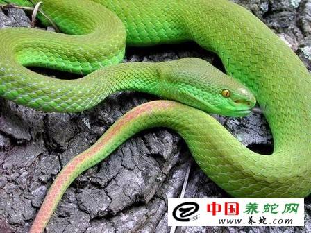 竹叶青蛇咬伤图片