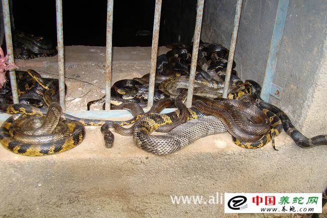 立体池内养蛇图