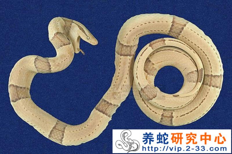 蛇龟头海蛇