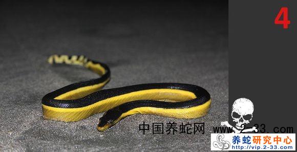 蛇类海蛇科