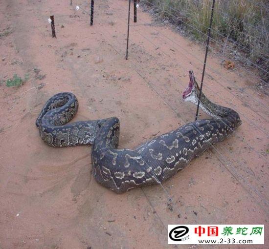 做梦梦到很多蟒蛇