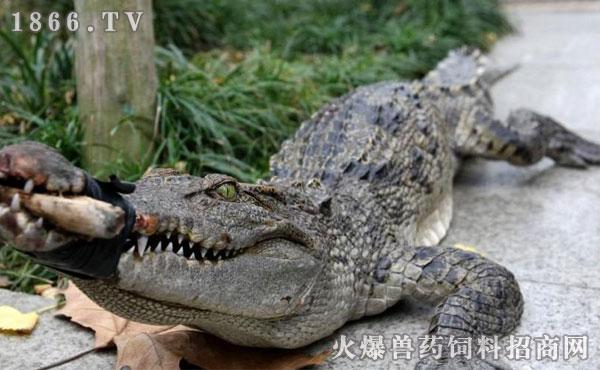 养殖频道    鳄鱼(crocodile)一种冷血的卵生ag游戏直营网|平台.