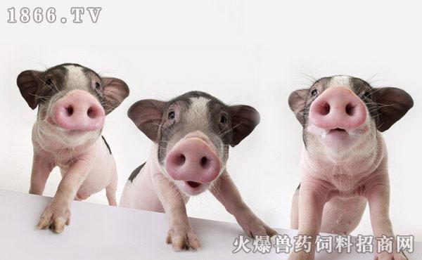 宠物猪图片