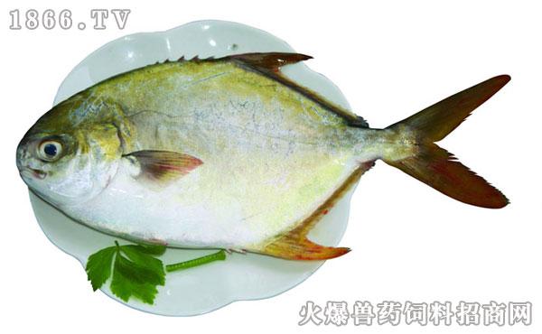 但金营养属于科而两个属于鲳科全完属于菜品鲳鱼.概念鲳鱼广告语图片