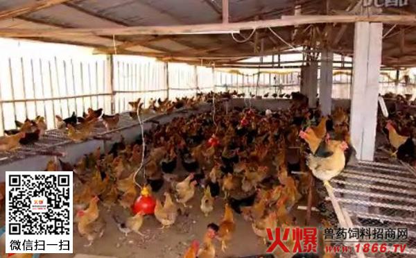 养鸡技术大全视频_怎么养鸡?养鸡技术大全