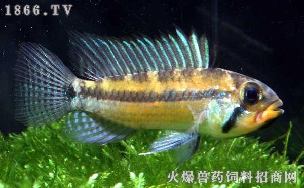 短鲷的常见鱼病及治疗