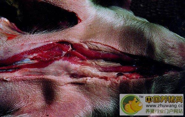 猪水肿病---(症状图谱3)