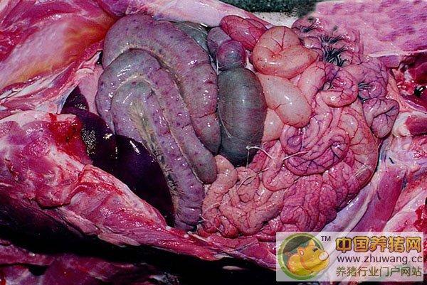 猪水肿病---(症状图谱1)