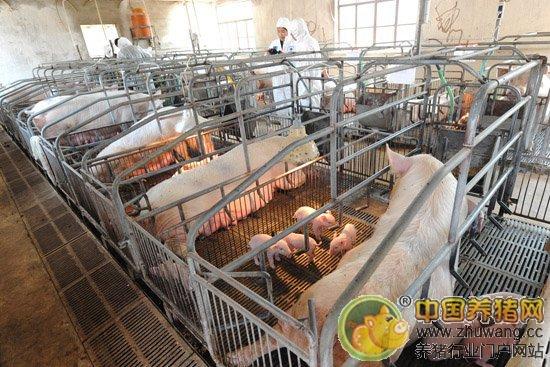 流水式猪场综合好保育猪?-管理养猪创意设计比及图片