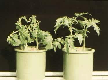 大气污染对植物的影响