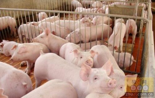 冬季养猪日粮管理与药物保健相结合