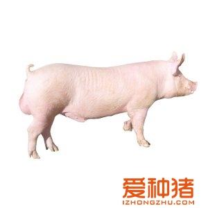 玉兰法系公猪大白牧业gla视频图片