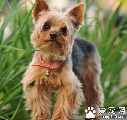 小型宠物犬品种 从体型上来分类