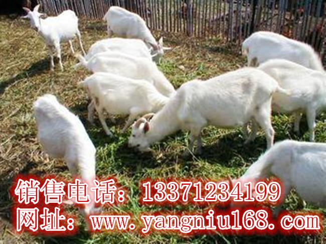 枣强县波尔山羊养殖