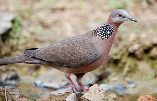 珠颈斑鸠是保护动物吗?_珠颈斑鸠叫声_珠颈斑鸠的笼养