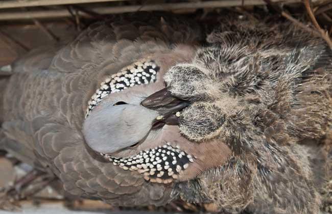 珠颈斑鸠是保护动物吗?