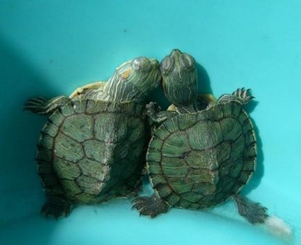 植物 养花知识 > 正文    4,注意雄性乌龟成熟后全身变成黑色,而雌性