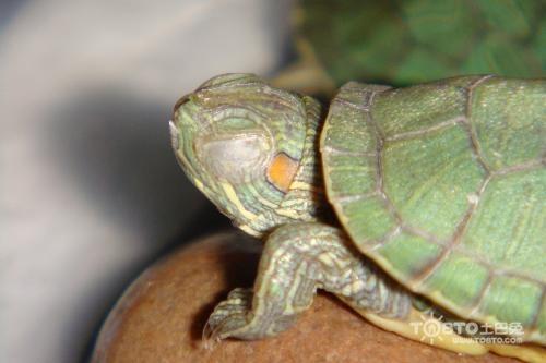 怎么治疗龟的歪脖子病_龟病治疗大全_红脖子病 龟