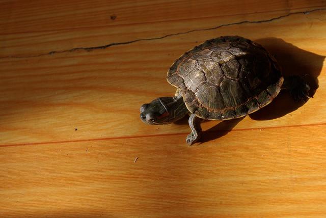红脖子病 龟_龟病治疗大全_怎么治疗龟的歪脖子病