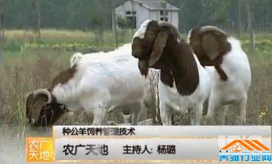 公绵羊图片大全可爱