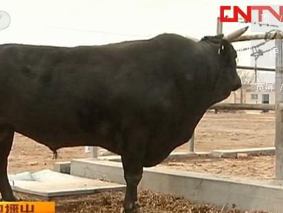 渤海黑牛最新养殖技术(视频)