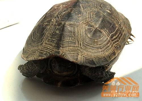 什么是龟的生长纹?