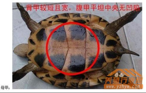 巴西龟怎么分公母