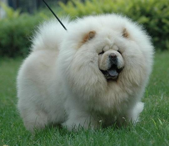 松狮犬怎么看纯种_松狮犬该怎么护理毛发-宠物美容