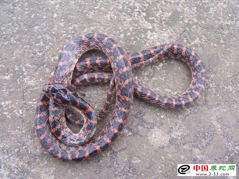赤链蛇的养殖技术