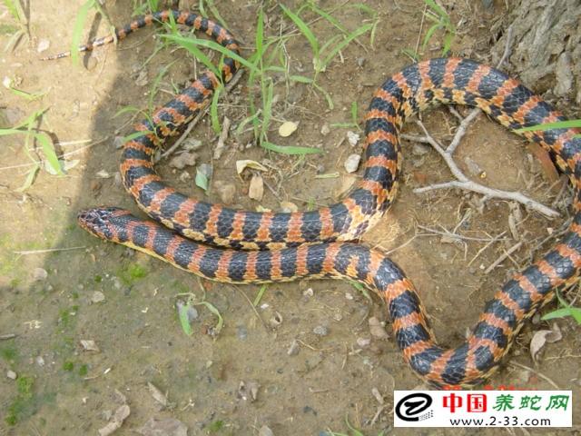 """赤链蛇是典型的""""垃圾桶蛇"""""""
