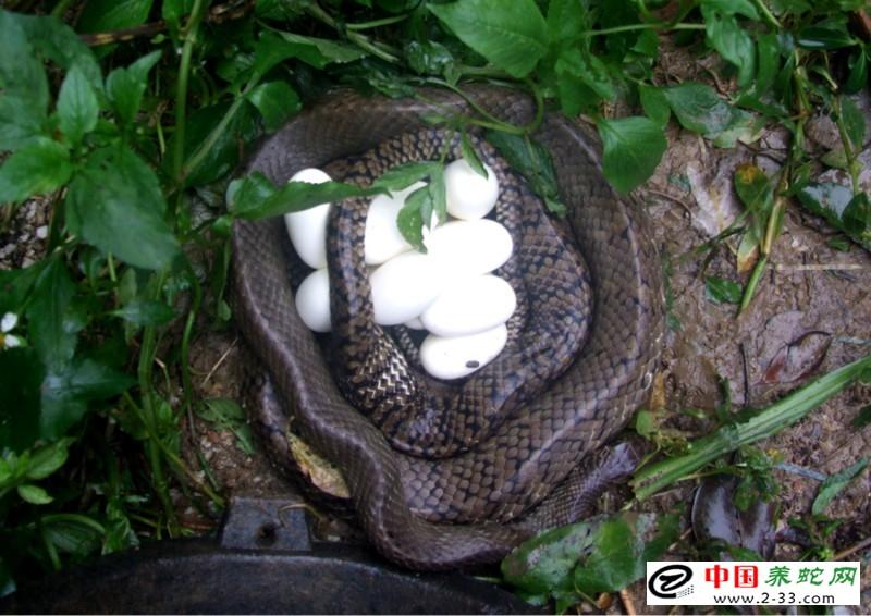 阴雨天气蛇卵孵化的要领