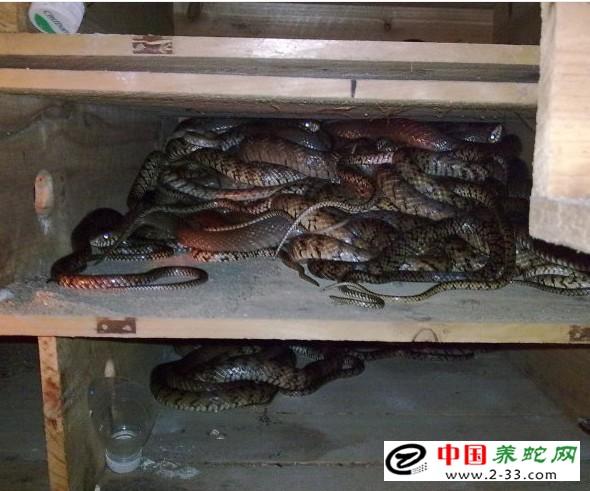 孕蛇露天养殖的产卵时间要早于室内模式