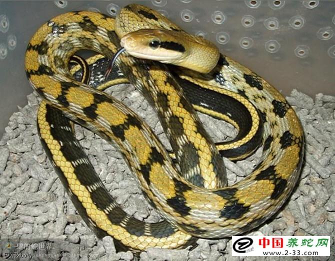 黑眉锦蛇定期驱虫