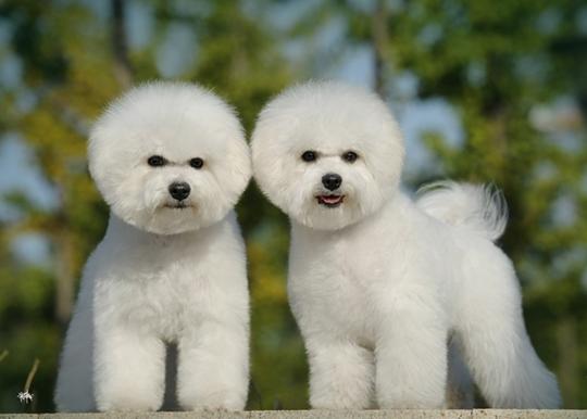 狗狗耳垢和耳毛的处理方法
