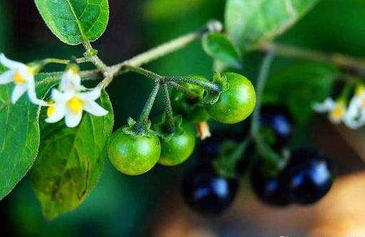 鲜龙葵果的功效与作用有哪些?