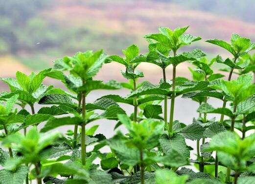 十香菜怎么种植_十香菜会开花吗?