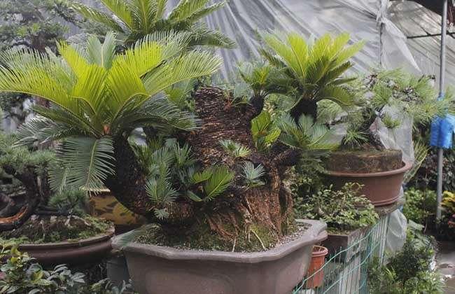 盆栽铁树怎么养才好?图片