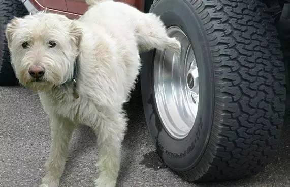 狗狗总喜欢在轮胎上撒尿怎么办【图】