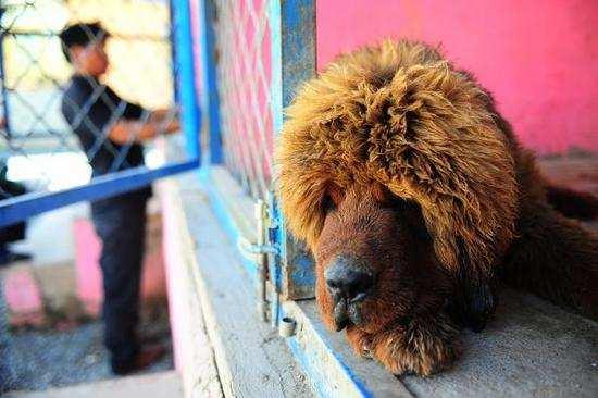 藏獒在中国失宠:近千只遗弃狗被政府收容