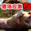 猪场养猪最怕应激,针对猪应激综合征该怎么解决