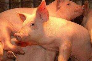 五大原因引发猪呼吸道疾病,看完恍然大悟