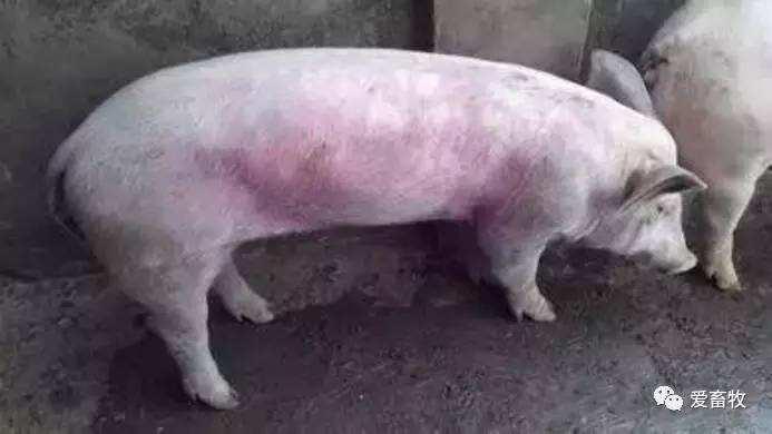 导致猪身体发紫的疾病鉴别大全!