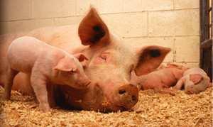 把母猪当娘养的秘密!可赚钱还是养猪大户的事