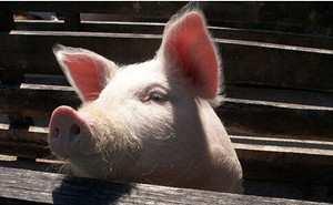 猪发烧容易引发这3种猪病,来看一下吧……