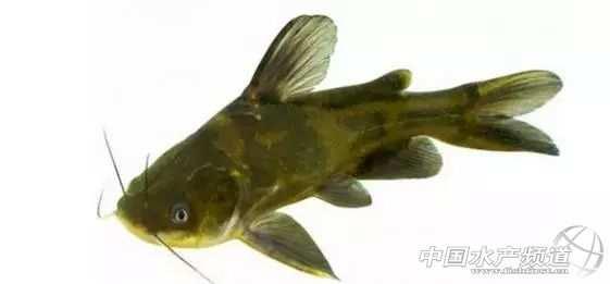 黄颡鱼网箱养殖视頻_黄颡鱼苗的养殖方法_黄颡鱼养殖难点