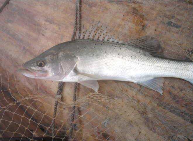 名贵鱼类——花鲈:生长期营养需求及特点