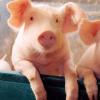 还是缺猪!市场供需偏紧 预计短期猪价稳中伴涨行...