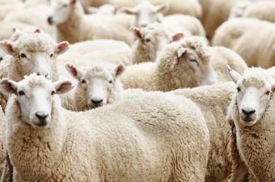 绵羊v绵羊完羔,也打了缩宫素注射液,胎盘下涩AV视频图片